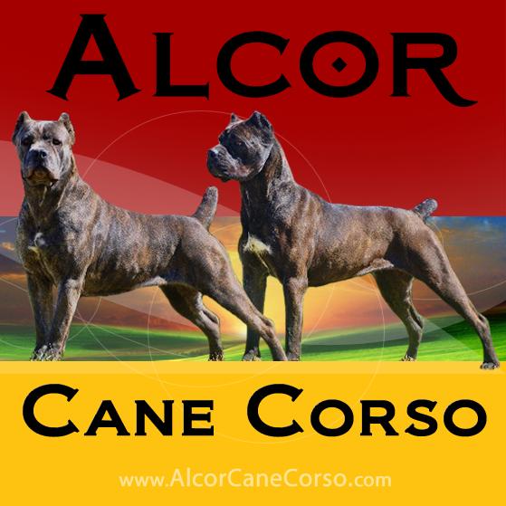 Alcor Cane Corso
